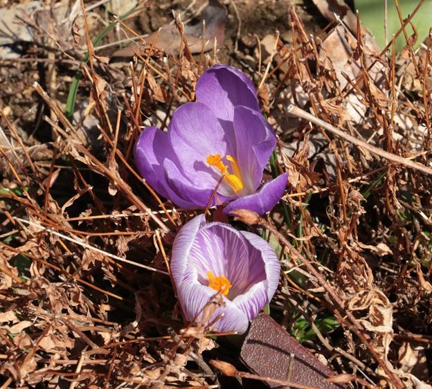 写真: クロッカス(番紅花、ばんこうか) :アヤメ科 別名:春サフラン ・花サフラン