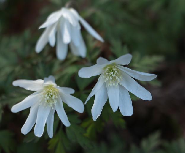 キクザキイチゲ(菊咲一華) キンポウゲ科