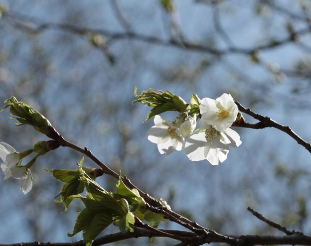 オオシマザクラ(大島桜) バラ科