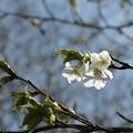 写真: オオシマザクラ(大島桜) バラ科