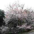 Photos: 東明桜
