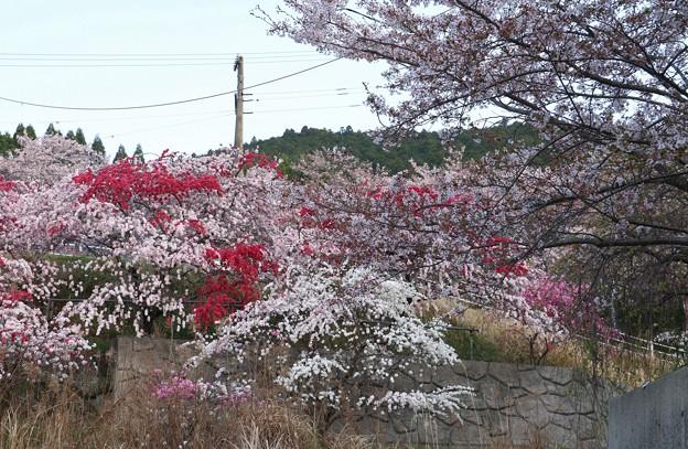 カナメ神宮「げんぺいしだれもも、源平枝垂れ桃」