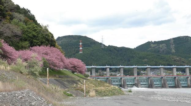 船明(ふなぎら)ダムとサトザクラ(里桜)カンザン (関山 ) バラ科