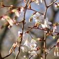 写真: かすみざくらも咲いて来ました。カスミザクラ(霞桜) バラ科