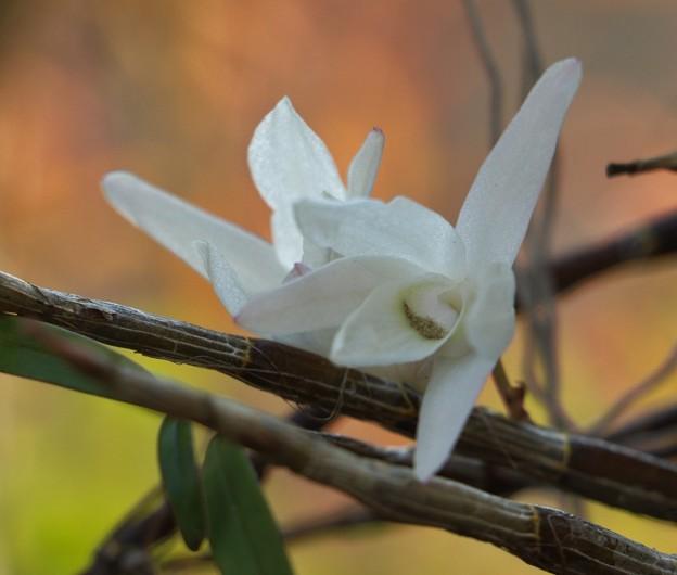 庭のセッコク(石斛) ラン科 別名:チョウセイラン(長生蘭)