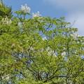 写真: マルバアオダモ(丸葉青梻) モクセイ科