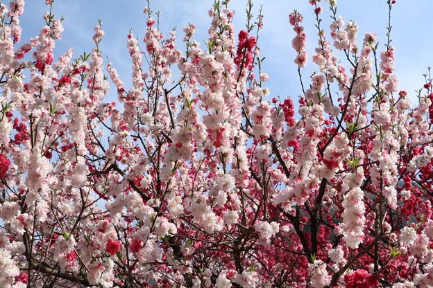 ハナモモ(花桃) バラ科