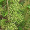 写真: タチシオデタチシオデ(立牛尾菜)  ユリ科