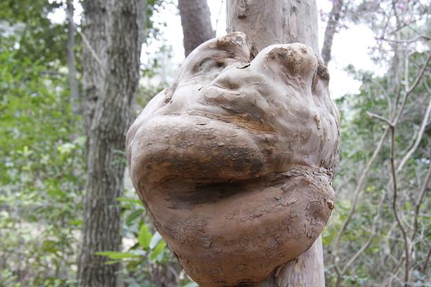 森林公園に昔あった。木の瘤 リョウブ(令法) リョウブ科