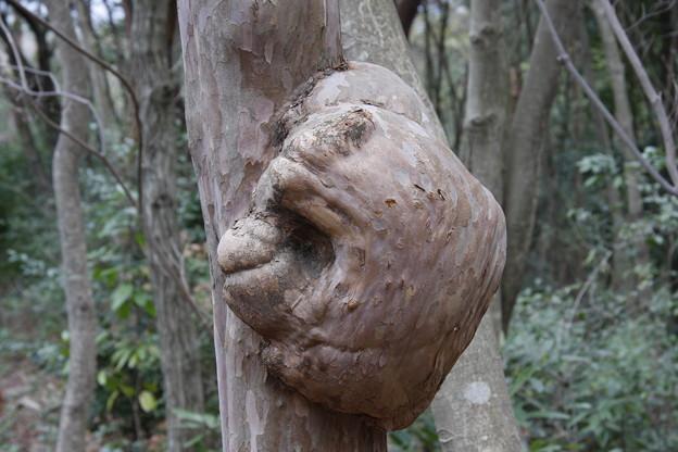 森林公園に昔あった木に瘤 リョウブ(令法) リョウブ科