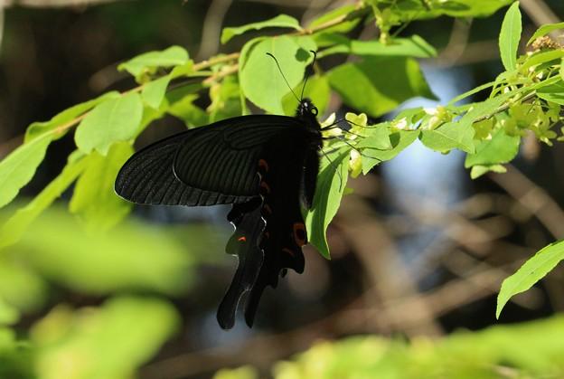 クロアゲハ(黒揚羽) アゲハチョウ科