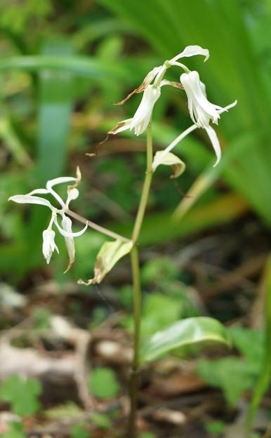 ユリ科の花かな~?白く八重のホウチャクソウの様な花