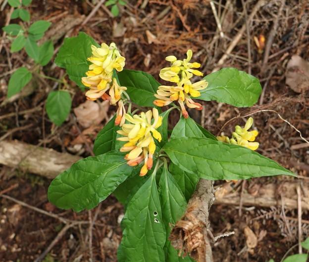 カキノハグサ(柿の葉草) ヒメハギ科