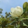 タイサンボク(泰山木、大山木)  モクレン科