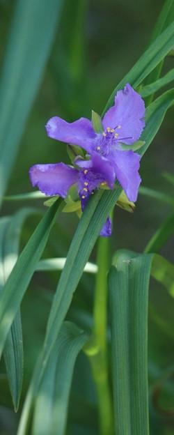ムラサキツユクサ(紫露草)  ツユクサ科