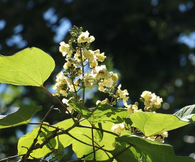 キササゲ(木大角豆)  ノウゼンカズラ科