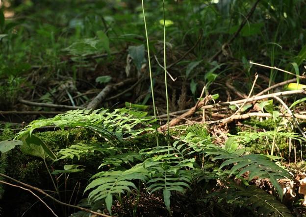 先日分からなかったシダの葉 キジノオシダ (雉の雄羊歯) キジノオシダ科