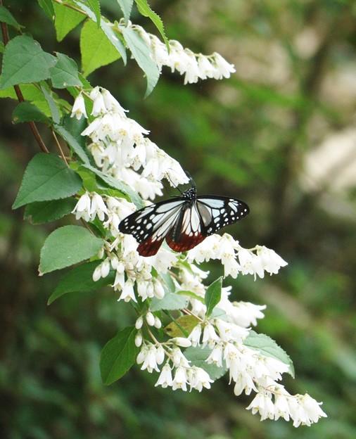 ウツギ(空木) ユキノシタ科とアサギマダラ(浅葱斑)チョウ目タテハチョウ科