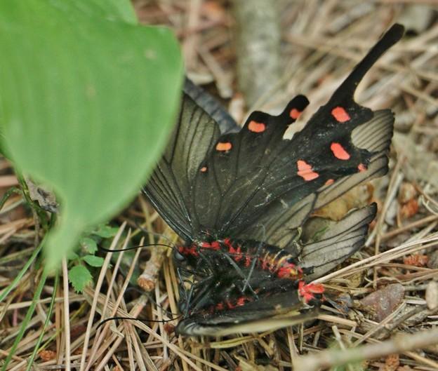 山猿のゴンさんへ名前有り難うございます。ジャコウアゲハ(麝香揚羽)  チョウ目・アゲハチョウ科の交尾