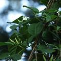 シタキソウ(舌切草)    キョウチクトウ科