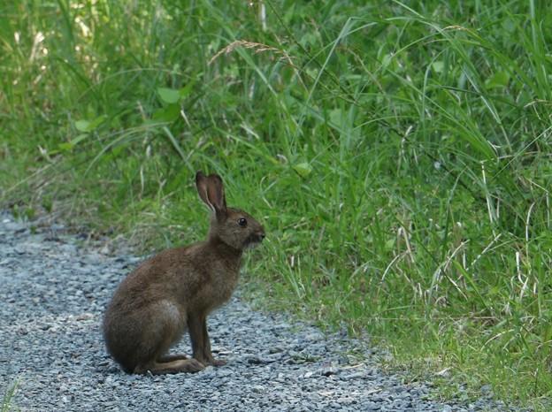 お久しぶりですね~ニホンノウサギ(日本野兎) ウサギ目(兎形目)ウサギ科