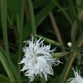 写真: 白花ナデシコ(撫子、瞿麦)  ナデシコ科