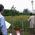 万葉集:くれない(紅)   ベニバナ(紅花) キク科
