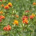 ベニバナ(紅花) キク科 別称:クレナイ(紅)クレノアイ(久礼乃阿井)スエツムハナ(末摘花)