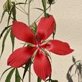 写真: 庭のモミジアオイ(紅葉葵) アオイ科