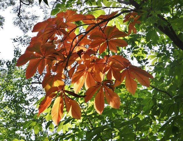 夏の部分「黄葉、コウヨウ、オウヨウ」も良い物ですね~トチノキ(栃の木) トチノキ科