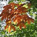 Photos: 夏の部分「黄葉、コウヨウ、オウヨウ」も良い物ですね~トチノキ(栃の木) トチノキ科