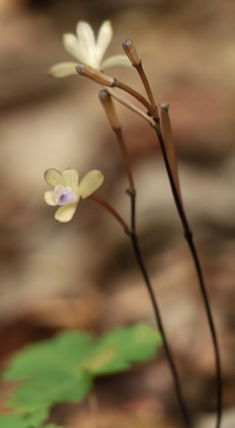 トサノクロムヨウラン (土佐の黒無葉蘭) ラン科