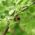 写真: スノキ(酢の木) ツツジ科