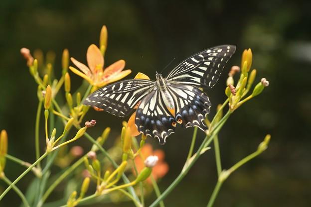 ナミアゲハ(並揚羽)  チョウ目アゲハチョウ科