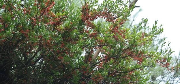 あなたは良いですね松の木木から栄養とって花咲かせ~!マツグミヤドリギ (松茱萸寄生木)   ヤドリギ科
