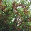 Photos: あなたは良いですね松の木木から栄養とって花咲かせ~!マツグミヤドリギ (松茱萸寄生木)   ヤドリギ科