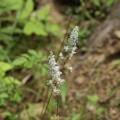 写真: チダケサシ(乳茸刺) ユキノシタ科