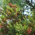 Photos: マツグミヤドリギ(松茱萸宿木) ヤドリギ科