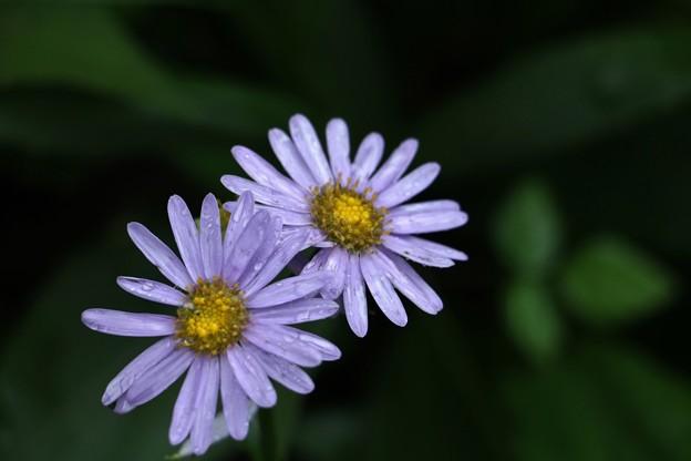 シオン(紫苑) キク科