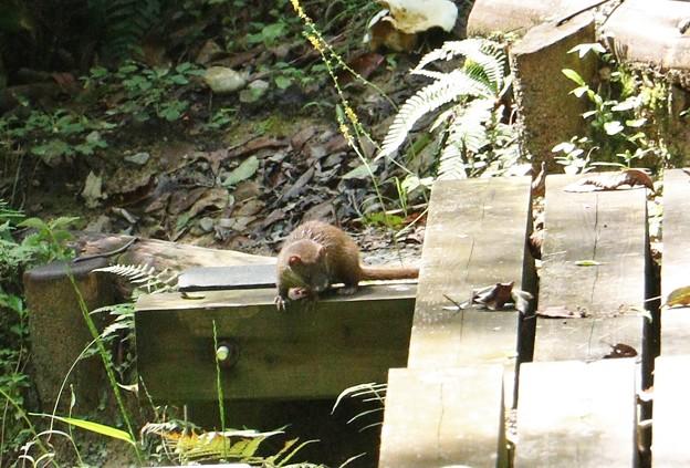橋の下何かいたち~イタチ(鼬、鼬鼠) イタチ科
