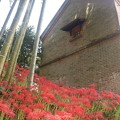 写真: ヒガンバナ(彼岸花)  ヒガンバナ科 別名:マンジュシャゲ(曼珠沙華)