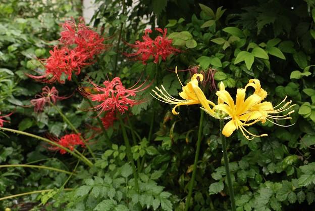 庭のリコリス オーレア  ショウキズイセン(鐘馗水仙)  ヒガンバナ科とヒガンバナ(彼岸花)ヒガンバナ科