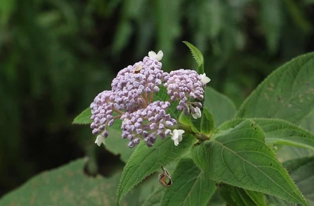 タマアジサイ(玉紫陽花) ユキノシタ科