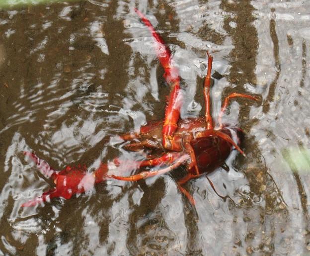 おら~どうすりゃいいで~?ザリガニ(蝲蛄・蜊蛄・躄蟹) ザリガニ科