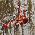 写真: おら~どうすりゃいいで~?ザリガニ(蝲蛄・蜊蛄・躄蟹) ザリガニ科