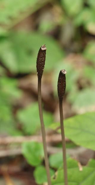 クロヤツシロラン(黒八代蘭)  ラン科種子