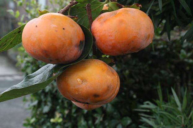 家の次郎柿 ジロウがキ(次郎柿) カキ科