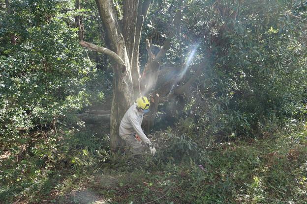 富幕山休憩舎横のイヌシデ(犬四手、犬垂) カバノキ科とアラカシ(粗樫)  ブナ科木を切るようです。