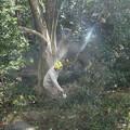 写真: 富幕山休憩舎横のイヌシデ(犬四手、犬垂) カバノキ科とアラカシ(粗樫)  ブナ科木を切るようです。