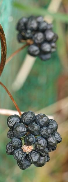 タチシオデ(立牛尾菜) サルトリイバラ科